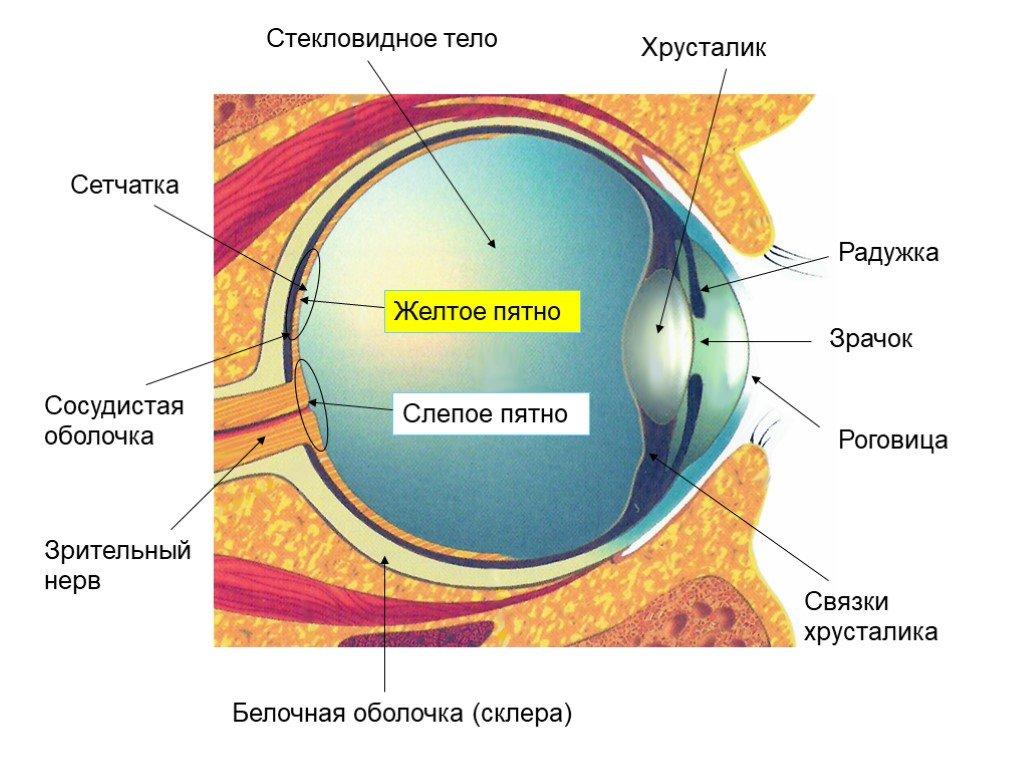 geolighting, ультрафиолет и коронавирус, влияние ультрафиолета, кварцевание, разрушение днк ультрафиолетом, схема глаза, структура глаза